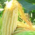Corn Silk 50g - Herba Center