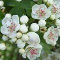 Hawthorn Flowers 50g - Herba Center