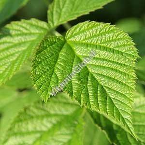 Raspberry Leaves 50g - Herba Center